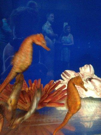 Ocean Rider Seahorse Farm: seahorses on display in tanks