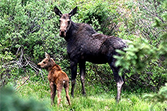 Bachelor Loop: Momma Moose with week old baby.
