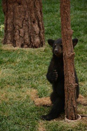 Bearizona Wildlife Park: baby bear