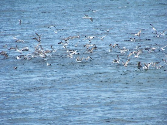 Lanai at the Cove: Seagulls in a feed frenzy
