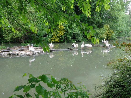Parc Zoologique: White pelicans enjoying their environment at Lille zoo.