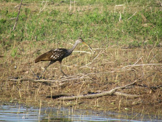 Crooked Tree Lodge: Limpkin seen during boat tour
