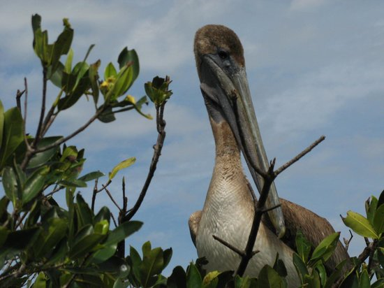 Peace River Boat Tours: Roosting Pelican