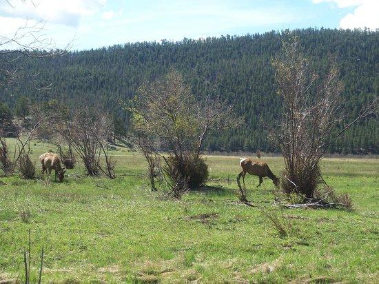 Longs Peak : Elk grazing