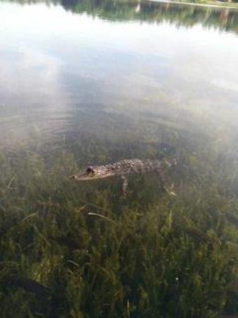 Disney's Coronado Springs Resort: alli the gator