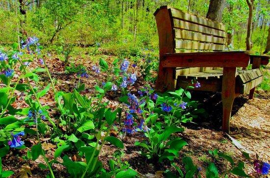 Edith J. Carrier Arboretum : Virginia Bluebells