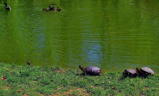 Edith J. Carrier Arboretum: curious turtles