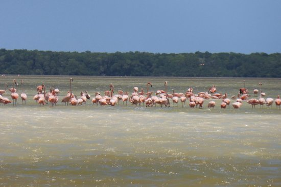 Celestun Wildlife Refuge : Hundreds of pink flamingos