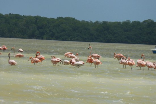 Celestun Wildlife Refuge : Flamingos
