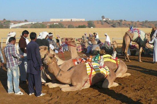 Al Sawan Camel Track : En attente de la course...