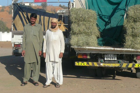Al Sawan Camel Track : Des marchands de fourrage