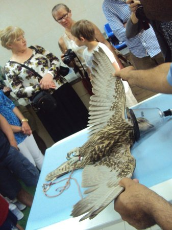 Abu Dhabi Falcon Hospital: bird under anaesthetic for treatment