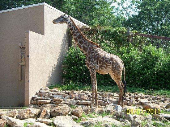 Greenville Zoo: beautiful giraffe