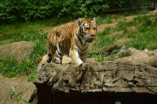 Pittsburgh Zoo & PPG Aquarium: Tiger