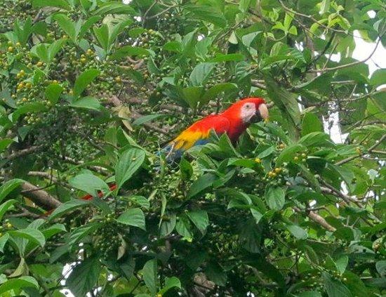 La Leona Eco Lodge: scarlet macaw