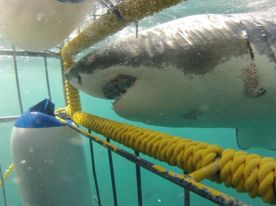 Great White Shark Tours: Getting close
