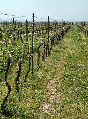 Niagara Grape & Wine Tours: Konzelmann Vineyard