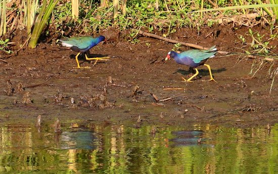 WildNative Delta Safaris: Purple gallinule