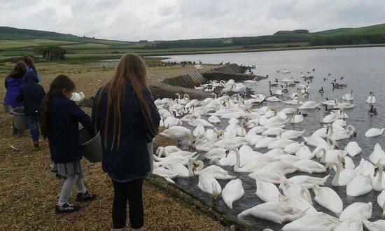 Abbotsbury Swannery: Swan feeding time