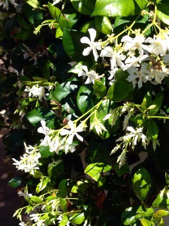Olde Marco Island Inn and Suites: Intoxicating Jasmine Blossoms.