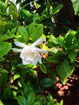 Olde Marco Island Inn and Suites: Gardenia Blossom. Aroma from the Gods!