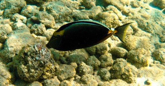 Hanauma Bay Nature Preserve: Orange-spined Tang