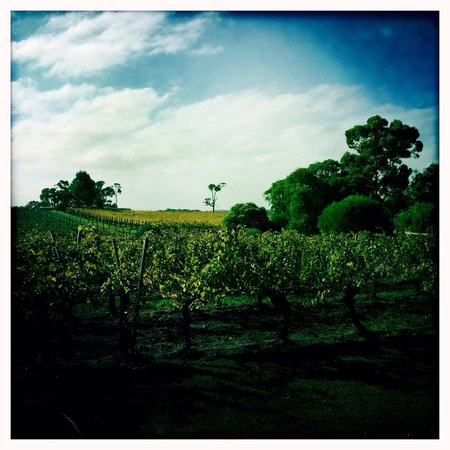 Cullen Wines - Cullen Restaurant: Autumn vines....