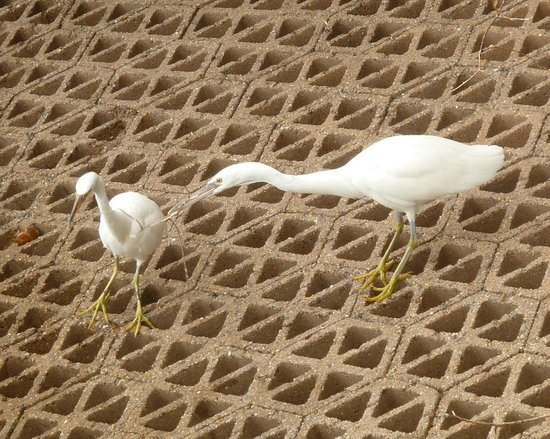 Green Island : Eastern Reef Egrets (white morph)