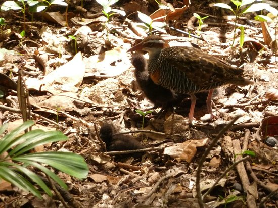 Green Island : Buff-banded rail with chicks