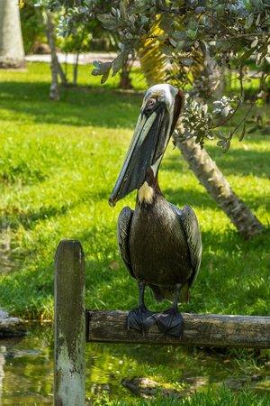 Sarasota Jungle Gardens: A visiting Pelican
