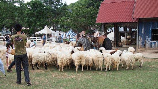 The Scenery Resort & Farm : Feeding sheep