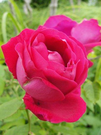 Arboretum et jardin botanique de Dallas : One of the beautiful roses at the Arboretum
