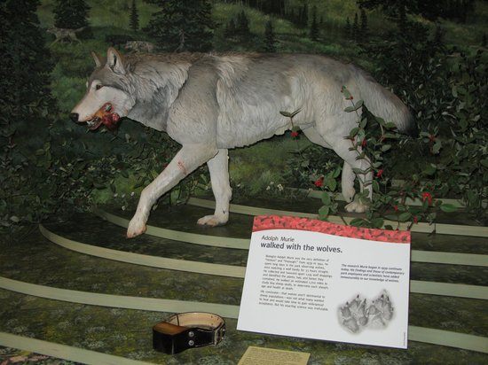 Denali Visitor Center : Wolf Exhibit