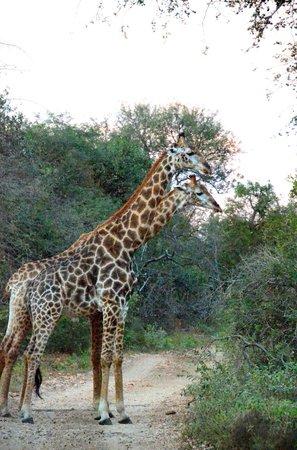 Ezulwini Game Lodges: Giraffe Fight meters away from River Lodge
