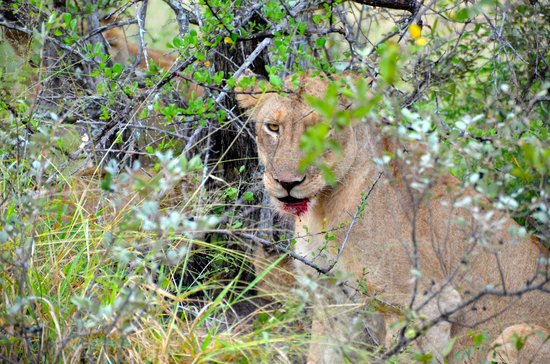 Ezulwini Game Lodges: Dinner time for the lions!
