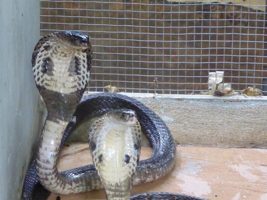 Phuket Cobra Show and Snake Farm: cobras