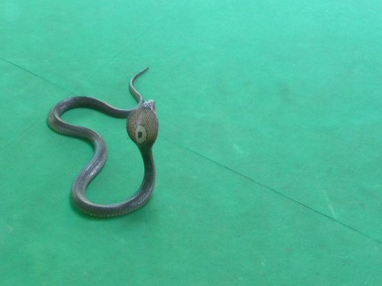 Phuket Cobra Show and Snake Farm: king cobra