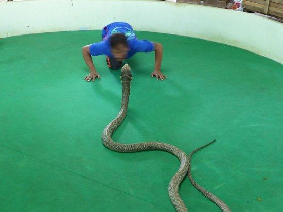 aggressive cobra - Foto di Phuket Cobra Show and Snake Farm, Rawai - TripAdvisor