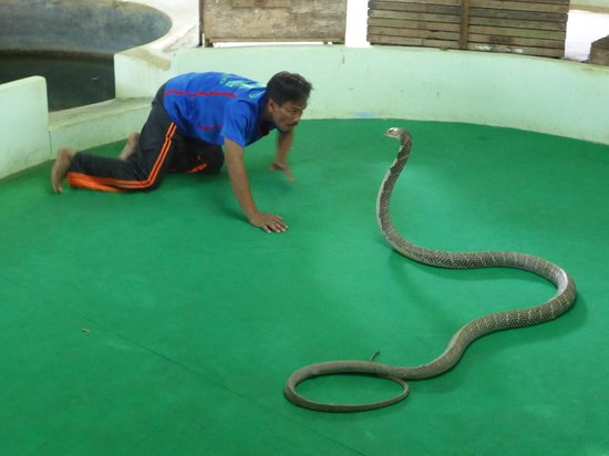 Phuket Cobra Show and Snake Farm: big king cobra