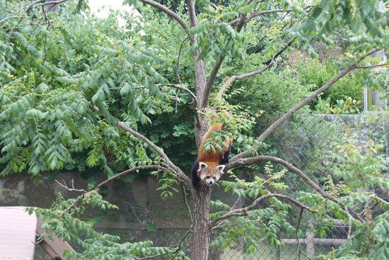 Chattanooga Zoo: Red Panda