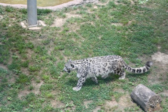 Chattanooga Zoo: Snow Leopard