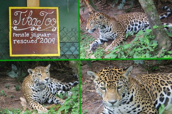 Banana Bank Lodge & Jungle Horseback Adventure : Jaguar Tikka