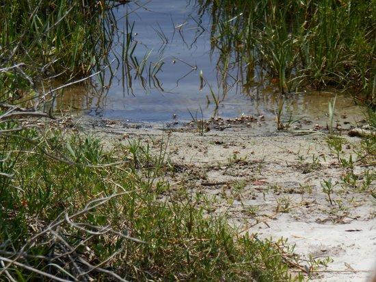 Cedar Key Museum State Park: Lots of sand crab