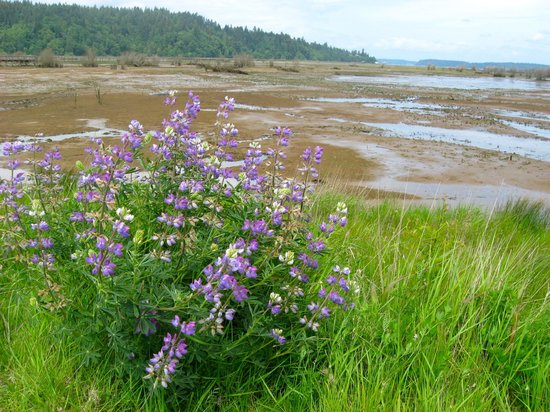 Nisqually National Wildlife Refuge: Wildflowers in spring at Nisqually (low tide on puget sound)