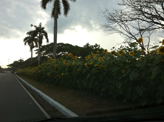 University of the Philippines: Sunflowers along University Avenue abloom for April graduation ceremonies
