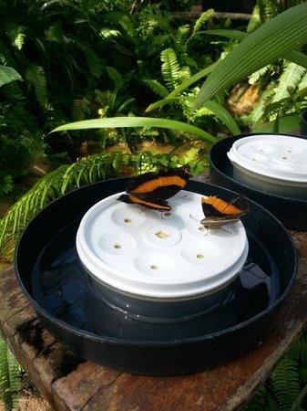 Australian Butterfly Sanctuary : having a feed