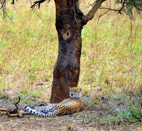 Apoka Safari Lodge: Cheetah Encounter
