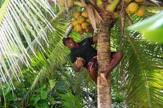 The Remote Resort - Fiji Islands: Fresh coconuts courtesy of Aps