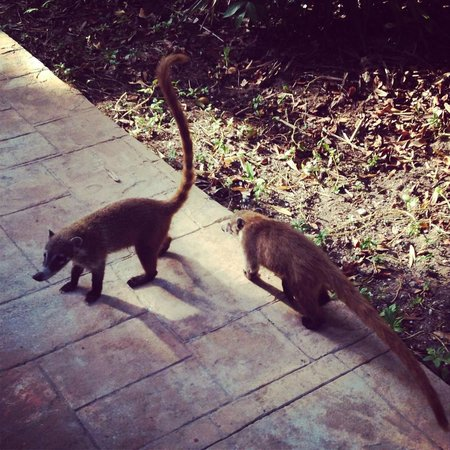 Catalonia Playa Maroma : Coatis