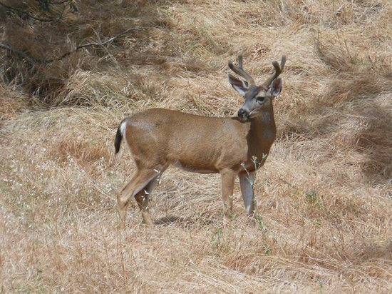Mount Diablo State Park: Rare sighting of a young buck.